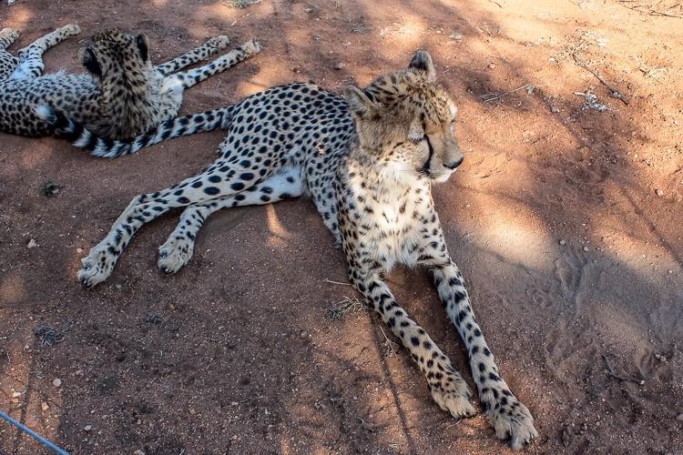 Gepardi v zavetišču