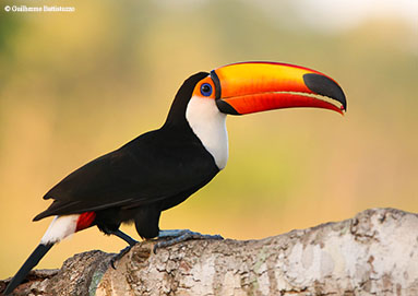 Toco Toucan – Pantanal
