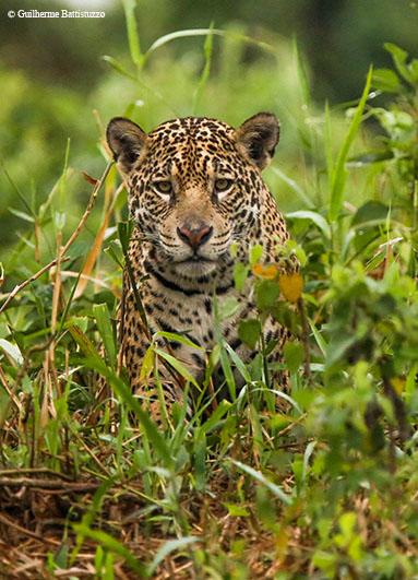 Jaguar – Pantanal, Brazil