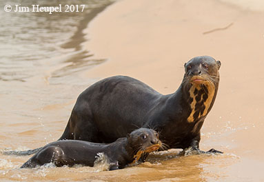 Giant otter and pup