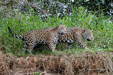Jaguar Mother and Cub